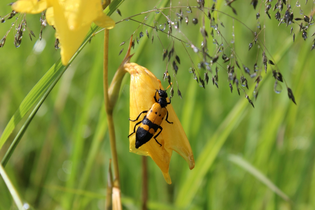Insekt Sambia